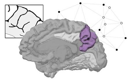 El precúneo es clave en la diversidad de la anatomía del cerebro ...