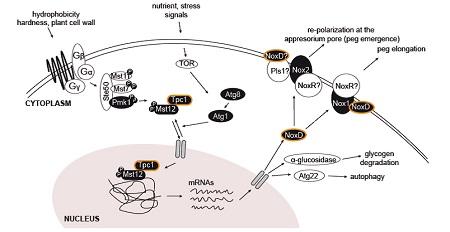 Tpc1 Un Factor De Transcripción Específico De Hongos