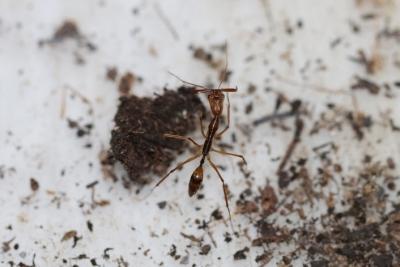 Investigar El Cerebro De Las Hormigas Permitirá Conocer